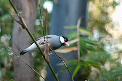 Java Sparrow. A Java sparrow parking on a bamboo branch Stock Images