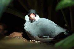 java sparrow Royaltyfria Foton
