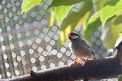 Java Sparrow royalty free stock photos