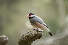 Java Sparrow foto de stock