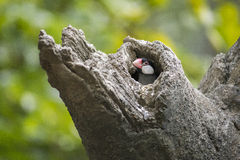 Java Sparrow Stock Photo