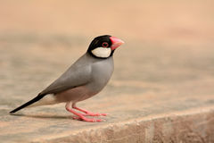 Java Sparrow Stockbild