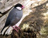 Java Sparrow Stock Images