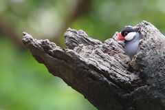 Java Sparrow Royaltyfria Bilder