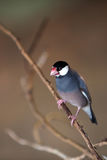 Java Sparrow. Perching on a branch against a blurred background Stock Image
