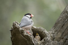 Java Sparrow and Baby Royalty Free Stock Photo