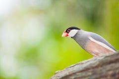 The Java sparrow bird royalty free stock image