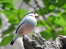Java Sparrow Bird. Pink grey colors, green background, pink beak royalty free stock photos