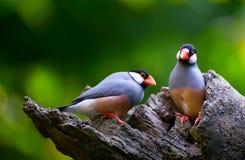 Java sparrow birds. Pair of cute java sparrow birds perched on a tree trunk stock photos