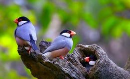 Java sparrow birds Stock Image