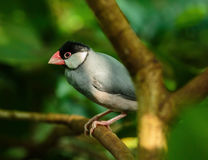 Java sparrow on a branch. Cute Java sparrow perched on a branch in the jungle Stock Image
