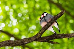 Java Sparrow on branch male and female lover. Java Sparrow on branch male and female lovely Royalty Free Stock Image