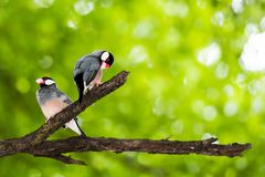 Java Sparrow on branch male and female lover. Java Sparrow on branch male and female lovely Royalty Free Stock Photography