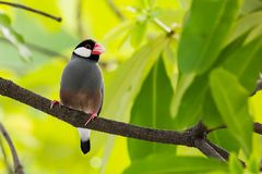 Java Sparrow on branch male and female lover. Java Sparrow on branch male and female lovely Royalty Free Stock Images