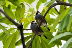 Java Sparrow on branch male and female lover. Java Sparrow on branch male and female lovely Stock Image