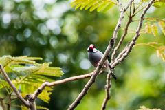 Java Sparrow on branch male and female lover. Java Sparrow on branch male and female lovely Stock Photography