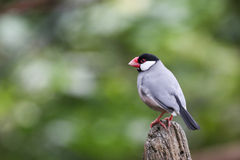 Java sparrow Stock Photography