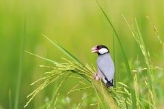 Java Sparrow Stock Image