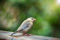 Java sparrow Stock Photos