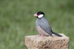 Java Sparrow Royalty Free Stock Images