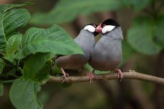 Java sparrow Lonchura oryzivora. Stock Photos
