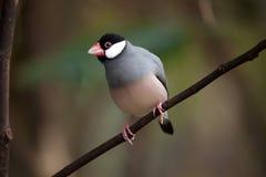 Java sparrow Lonchura oryzivora. Royalty Free Stock Photos