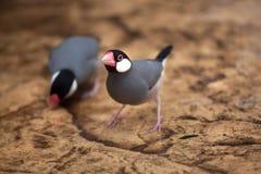 Java sparrow Lonchura oryzivora. Stock Image