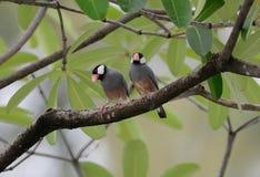 Java Sparrow Lonchura oryzivora Royalty Free Stock Image