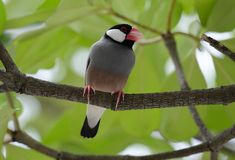 Java Sparrow Lonchura oryzivora Stock Photography