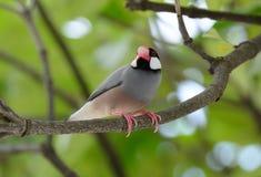 Java Sparrow Lonchura oryzivora Royalty Free Stock Photos