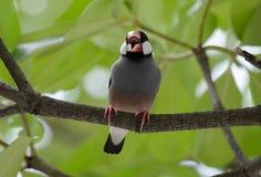 Java Sparrow Lonchura oryzivora Royalty Free Stock Photo