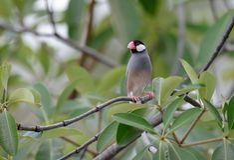 Java Sparrow Lonchura oryzivora Royalty Free Stock Photography