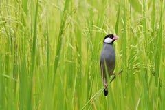 Java Sparrow. (Lonchura oryzivora) in rice field Stock Photo