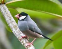 Java Sparrow på Plumeriafilial Arkivbild
