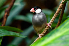 Java Sparrow (Padda Oryzivora) Stock Photos