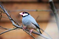 Java Sparrow (Padda Oryzivora) auf einem Baumast Stockfotos