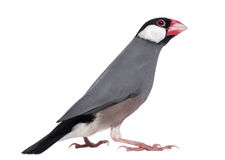 Java Sparrow - Padda oryzivora Royalty Free Stock Photography