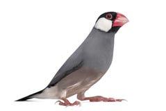 Java Sparrow - Padda oryzivora Stock Photo