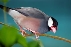 Java sparrow perching on a branch in front of a dark bluish background looking downwards Royalty Free Stock Photography