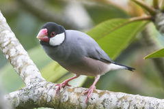 Java Sparrow Perched on a Branch Royalty Free Stock Image