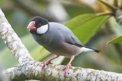 Java Sparrow Perched på en filial Royaltyfri Bild