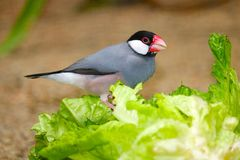 Java sparrow sitting on a green lettuce and eating it. Java sparrow padda oryzivora sitting on a green lettuce and eating it stock photography