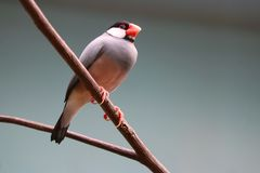 Java sparrow sitting on a leafless branch in front of a gray background. Java sparrow padda oryzivora sitting on a leafless branch in front of a gray background stock photos