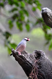 Java Sparrow in the tree. Java Sparrow standing out of the tree hole Royalty Free Stock Photos