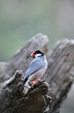 Java Sparrow in the tree Stock Photos