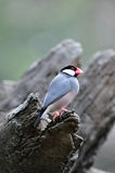 Java Sparrow in the tree. Java Sparrow standing out of the tree hole Royalty Free Stock Images