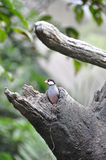 Java Sparrow in the tree hole. Java Sparrow standing in the tree hole Royalty Free Stock Images