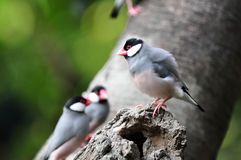 Java Sparrow on the tree hole Royalty Free Stock Image