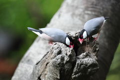 Java Sparrow on the tree hole. Java Sparrow standing on the tree hole Royalty Free Stock Photography