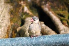 Java sparrow Stock Photography